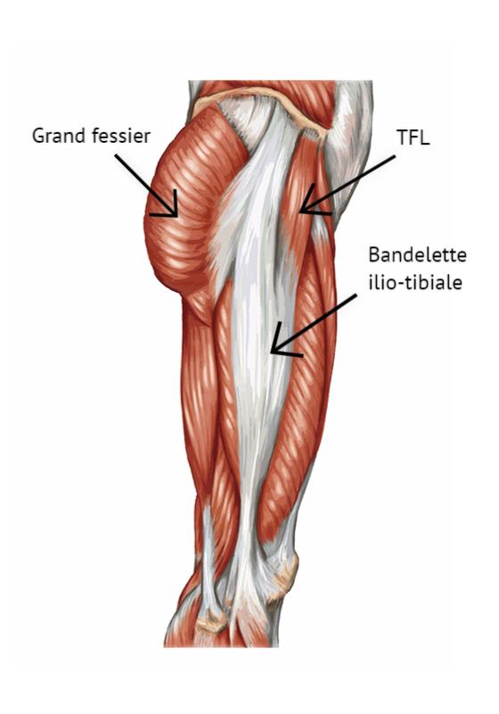 Le TFL (le muscle en haut et tire sur une longue bandelette tendineuse)