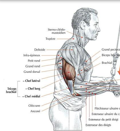 triceps10-2fb562b.jpg