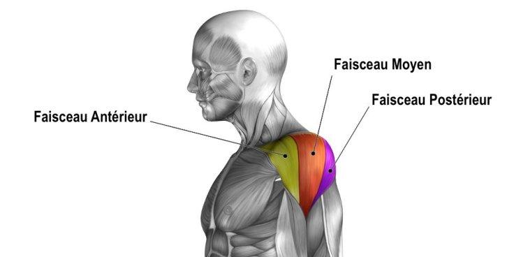 anatomia-muscolo-deltoide-spalla-it.jpg